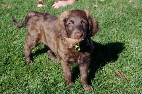 Marabou Labradoodle Puppy